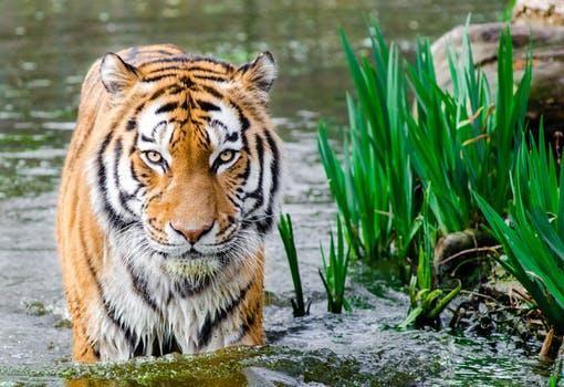 Singapore zoo tiger